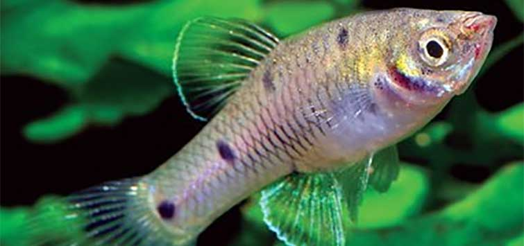 Genus Phallichthys for the Livebearer Fish Tank | TFH Magazine