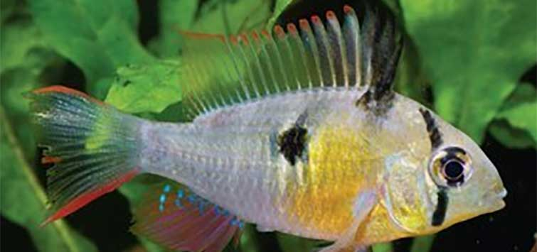 Mikrogeophagus altispinosus Species | Tropical Fish Hobbyist Magazine