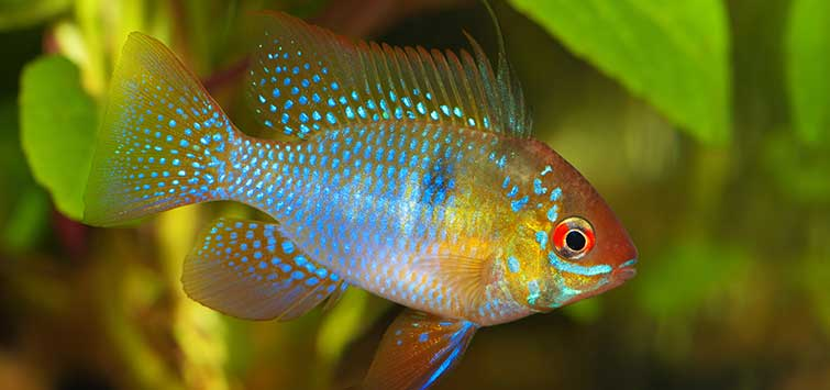 Mikrogeophagus ramirezi Species | Tropical Fish Hobbyist Magazine