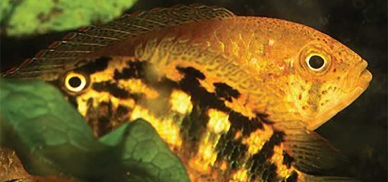 Nannacara aurocephala | Tropical Fish Hobbyist Magazine