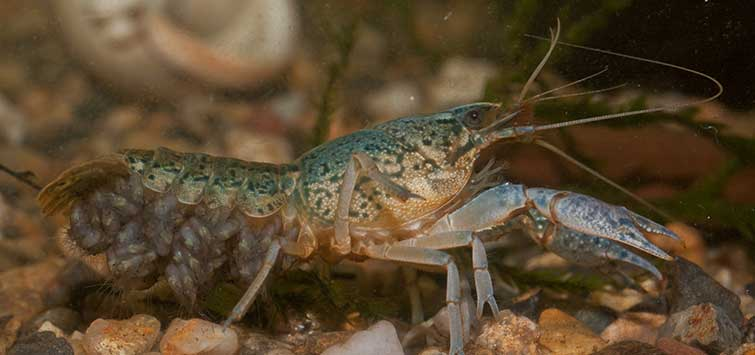marbled crayfish breeding
