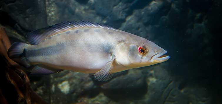 Pike Cichlid Fever | Tropical Fish Hobbyist Magazine