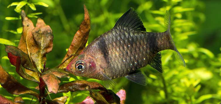 Puntius nigrofasciatus Species | Tropical Fish Hobbyist Magazine
