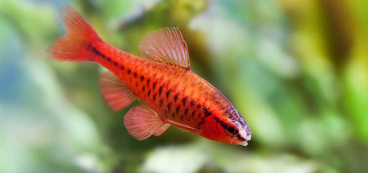 Puntius titteya Species | Tropical Fish Hobbyist Magazine
