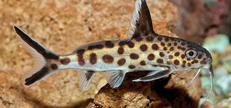 Synodontis petricola Care | Tropical Fish Hobbyist Magazine