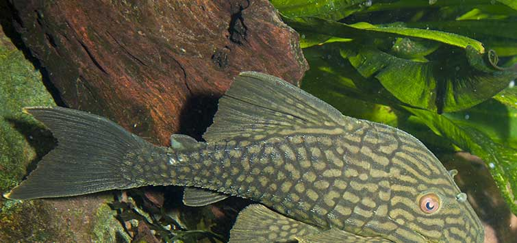 Royal Pleco Care | Tropical Fish Hobbyist Magazine