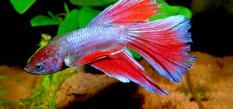 betta fish tank ideas