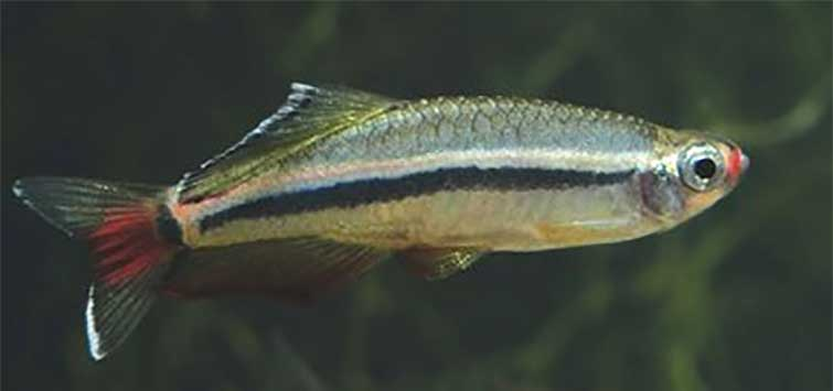 Tanichthys micagemmae Species | Tropical Fish Hobbyist Magazine