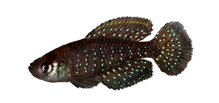 south american killifish