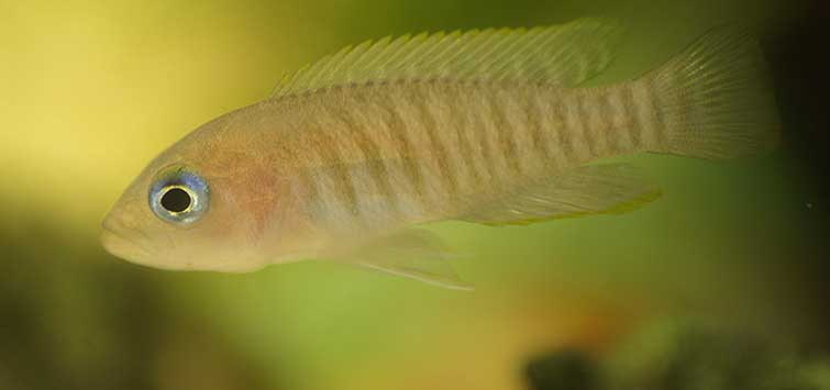 cichlids for beginners