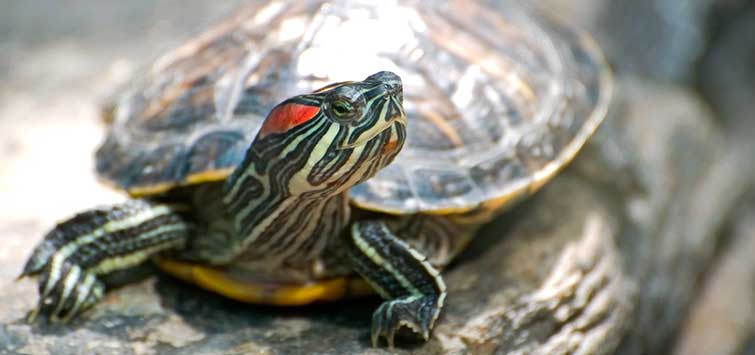 Red-Eared Slider Care | Tropical Fish Hobbyist Magazine