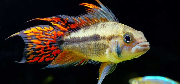 The Cockatoo Dwarf Cichlid | Tropical Fish Hobbyist Magazine