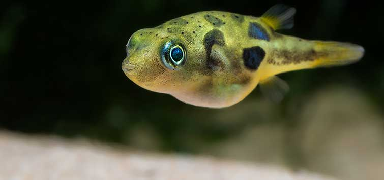 The Dwarf Puffer: A Pleasant Little Surprise | TFH Magazine