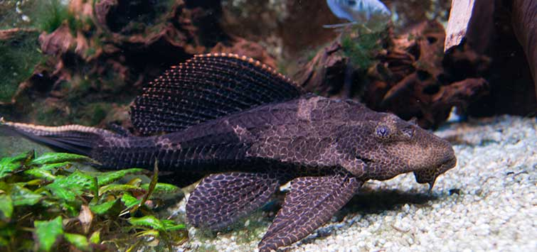 Giant Pleco Care | Tropical Fish Hobbyist Magazine