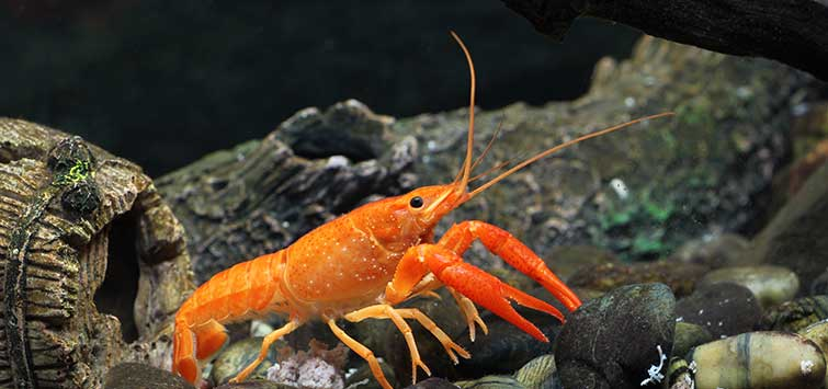 The Orange Dwarf Crayfish | Tropical Fish Hobbyist Magazine