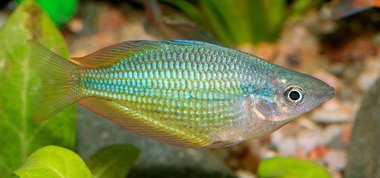 Pigmentation | Tropical Fish Hobbyist Magazine