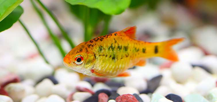 Subtropical Fish Species | Tropical Fish Hobbyist Magazine