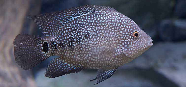 Texas Cichlid Care | Tropical Fish Hobbyist Magazine