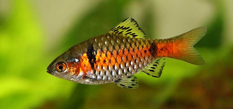 Top 10 Barb Aquarium Fish | Tropical Fish Hobbyist Magazine