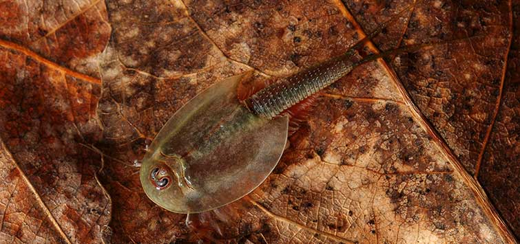 Triops: Ancient Wonders | Tropical Fish Hobbyist Magazine