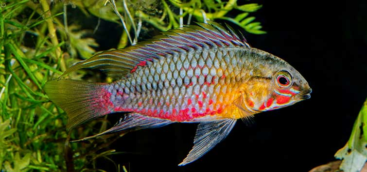 Trouble-Free Dwarf Cichlids for the Community Tank | Tropical Fish Hobbyist Magazine
