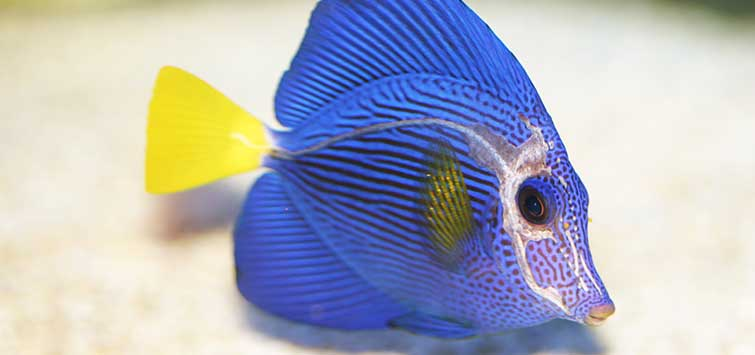 Viral Aquarium Fish Diseases | Tropical Fish Hobbyist Magazine