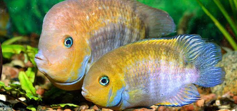 Fishes of Costa Rica-Panama Border | Tropical Fish Hobbyist Magazine