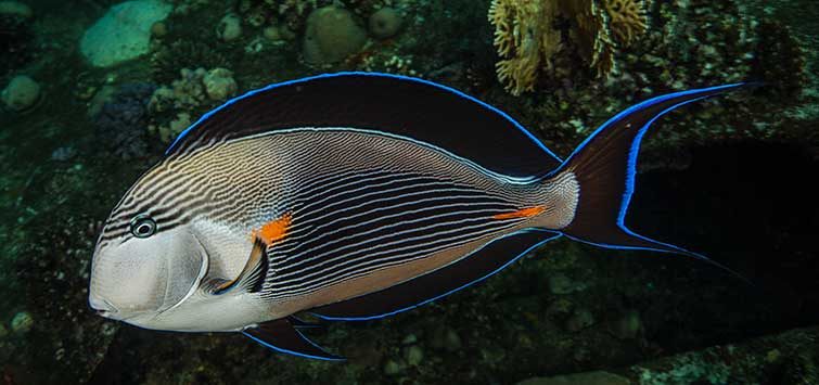 Acanthurus sohal Species | Tropical Fish Hobbyist Magazine