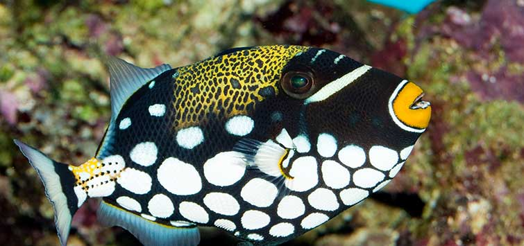 Balistoides conspicillum Species | Tropical Fish Hobbyist Magazine