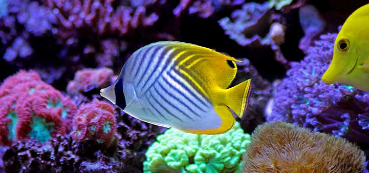 Keeping The Lemon Butterfly | Tropical Fish Hobbyist Magazine