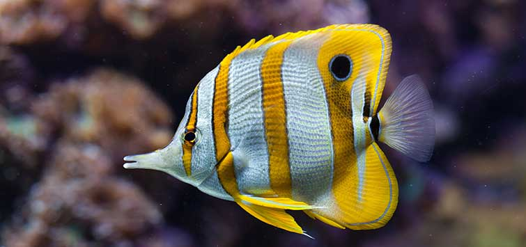 The Copperband Butterflyfish | Tropical Fish Hobbyist Magazine