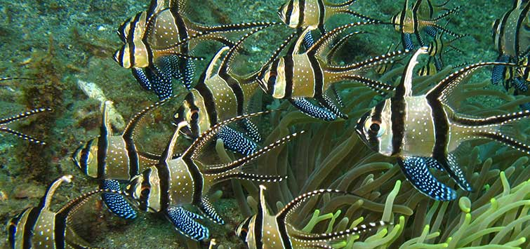 The Plight of the Banggai Cardinalfish Pterapogon kauderni KOUMANS 1933 | TFH Magazine