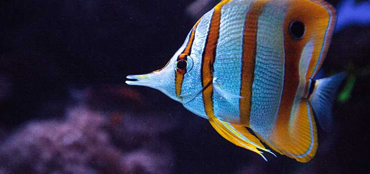 Beaked Coralfish Species | Tropical Fish Hobbyist Magazine
