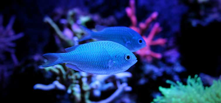blue green chromis
