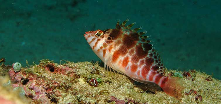 Spotted Hawkfish Species | Tropical Fish Hobbyist Magazine