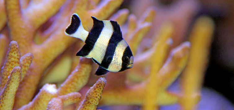 damselfish care