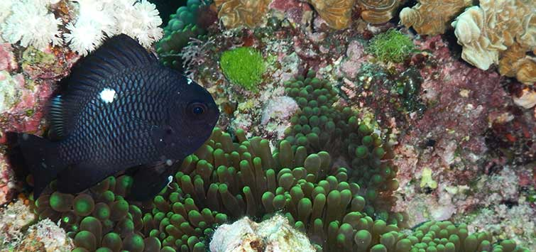 Dascyllus trimaculatus Species | Tropical Fish Hobbyist Magazine