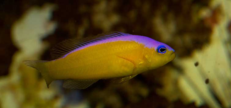 dottyback care
