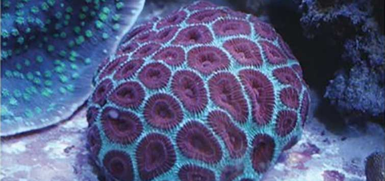 Favia Moon Coral Species | Tropical Fish Hobbyist Magazine