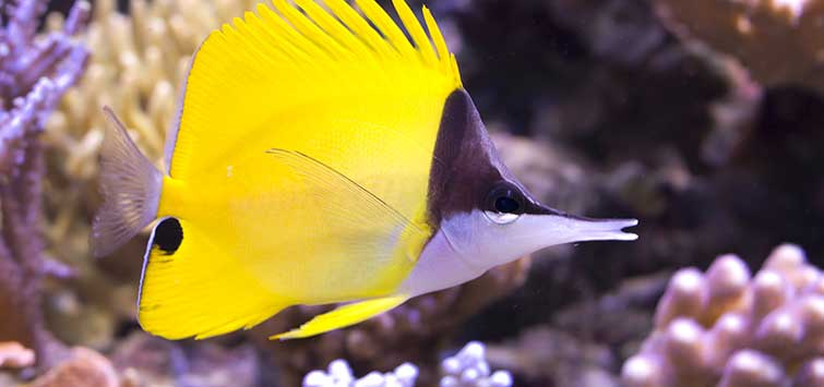 Forcipiger flavissimus Species | Tropical Fish Hobbyist Magazine