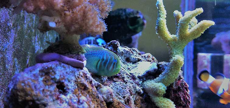 Green Clown Goby Species | Tropical Fish Hobbyist Magazine