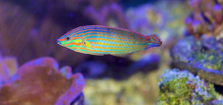 Halichoeres melanurus Species | Tropical Fish Hobbyist Magazine
