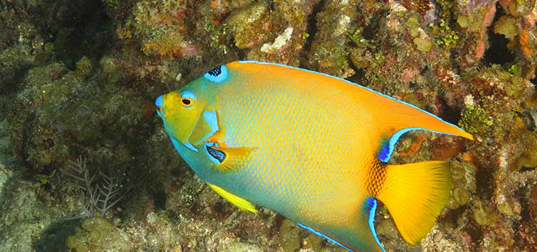 Holacanthus ciliaris Species | Tropical Fish Hobbyist Magazine