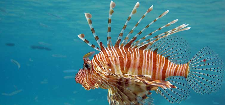 Hunting Saltwater Lionfish | Tropical Fish Hobbyist Magazine