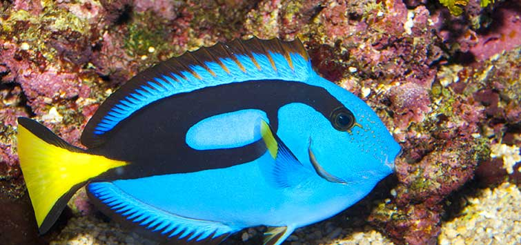 Blue Tang Care | Tropical Fish Hobbyist Magazine