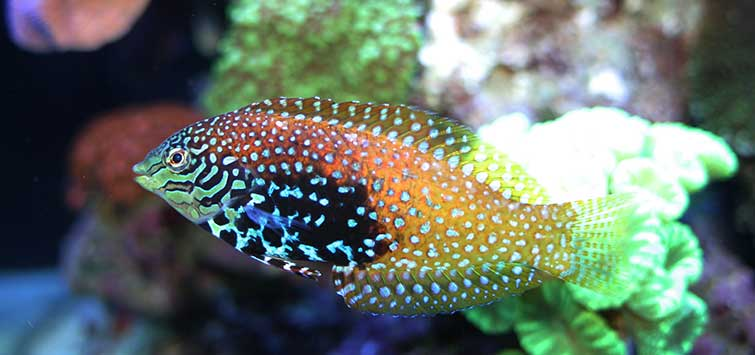 Keeping a Leopard Wrasse | Tropical Fish Hobbyist Magazine