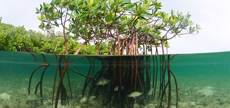 Mangroves in the Wild & Aquarium | Tropical Fish Hobbyist Magazine