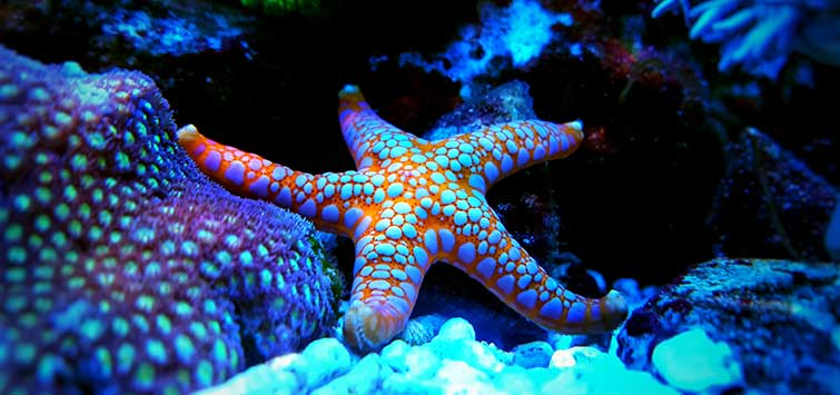 Marble Starfish Basics | Tropical Fish Hobbyist Magazine