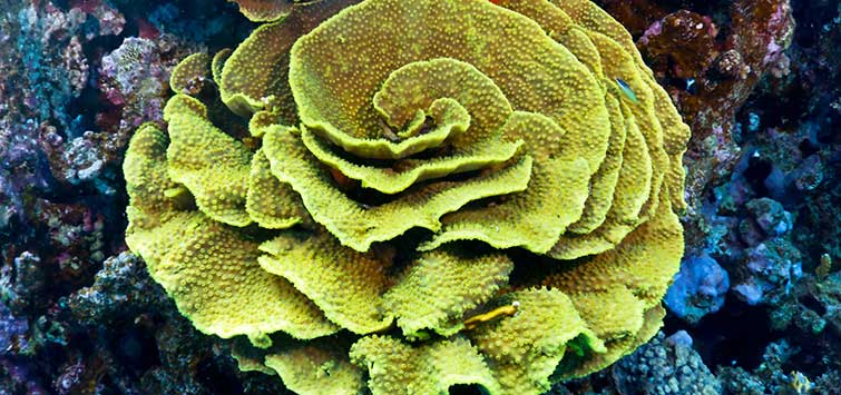 Cup Coral Species | Tropical Fish Hobbyist Magazine