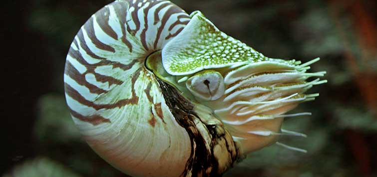 Nautilus pompilius Species | Tropical Fish Hobbyist Magazine